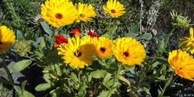 Heilpflanzen sollen Krebszellen empfindlicher machen