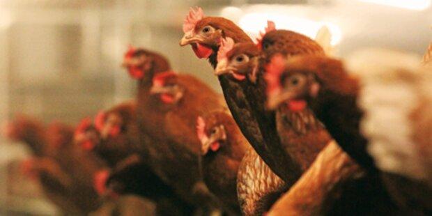 Dioxin nun auch im Hühnerfleisch
