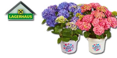 """Die Pflanzen des Monats - Hortensie """"Diva fiore"""""""
