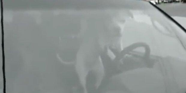 Allein im Auto: Hund hupt wie ein Verrückter