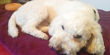 Vanessas Hund wachte neben Mordopfer