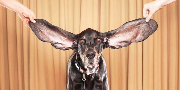 'Harbor' hat die längsten Ohren