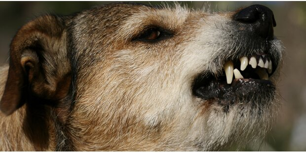 Hund zerfleischt 9-Jähriger das Gesicht