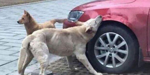 Hunde demolieren VW Jetta total