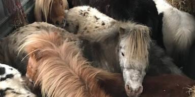 Grausamer Tiertransport: 9 Ponys eingezwängt