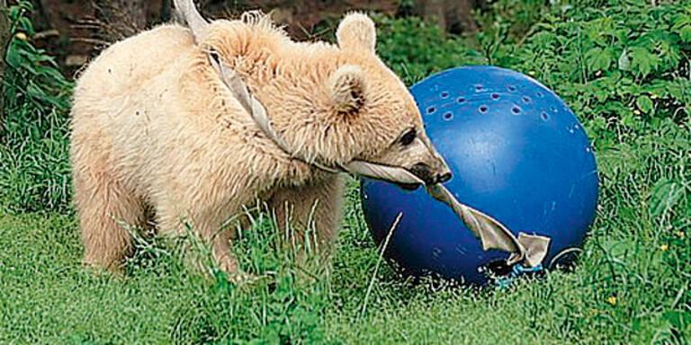 Süßer Bär erhängt sich beim Spielen