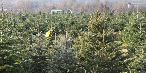 Wo gibt es Salzburgs günstige Christbäume?
