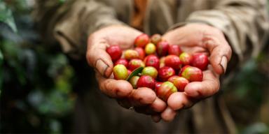 Kaffeekirschen herzförmig in zwei Händen gehalten