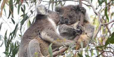 Kangaroo Island erholt sich langsam