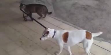 Ungewöhnlich: Katze geht mit Hund Gassi