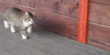 Katze adaptiert Trab