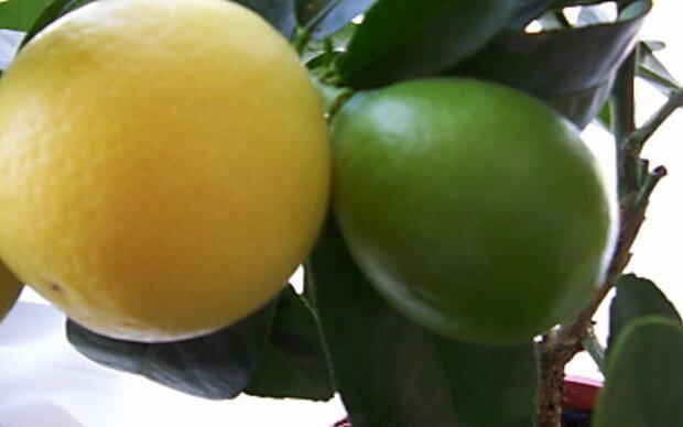 Limequats für Drinks und als Deko verwenden