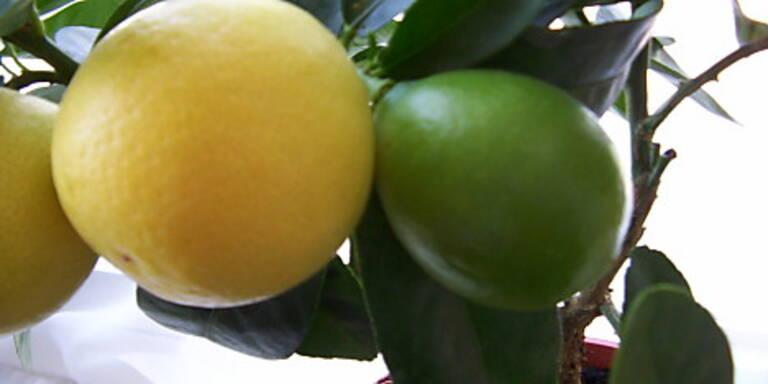 Kreuzung von Limette mit Kumquat