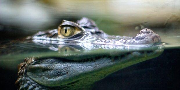 Tierquäler ließ Krokodil erfrieren
