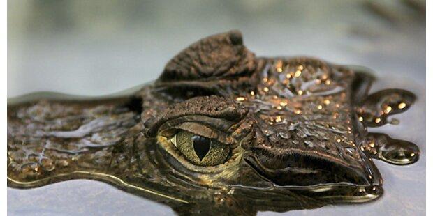 Aggressives Krokodil verbrachte Nacht in der Zelle
