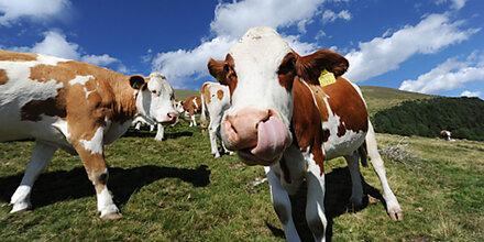 Bäuerin (31) von Kuh erdrückt