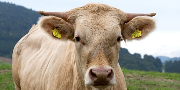 Landwirt von Stier attackiert und schwer verletzt