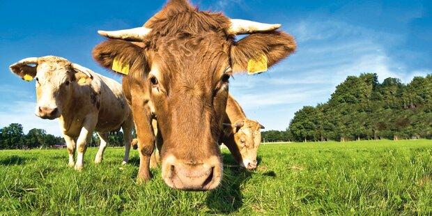 Stier-Amok: Bauer erdrückt
