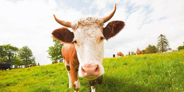 68-Jähriger von Kuh schwer verletzt