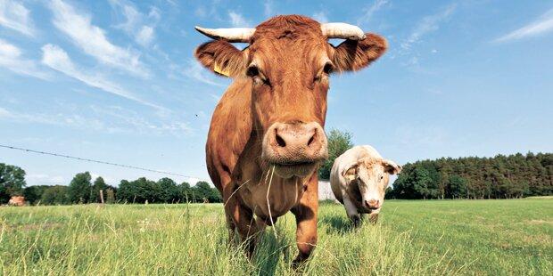 7 % der Amerikaner glauben, dass Schokomilch von braunen Kühen stammt