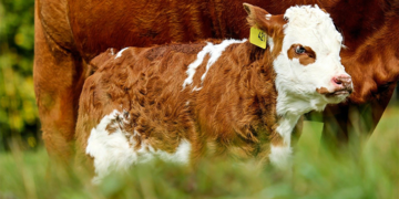 Wanderin hatte sie nicht angeleint: Hunde gingen auf Weide auf Kälber los