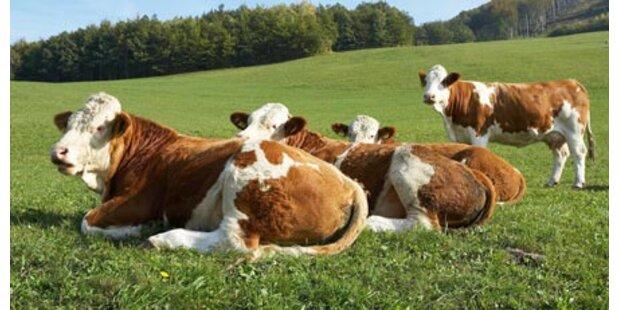 Dioxin in Tiroler Kuhweide vermutet
