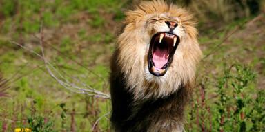 Löwe brüllend im Freien