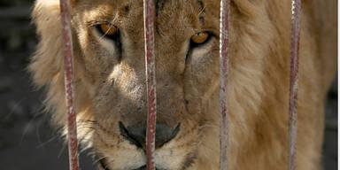 Löwe Zoo