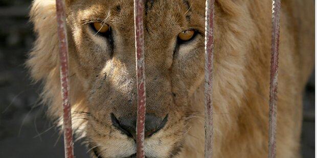 Fünf Löwen bei Johannesburg entkommen