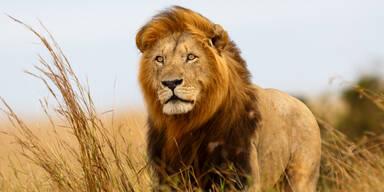 Löwe aus Zoo entlaufen - Hauptstadt im Lockdown