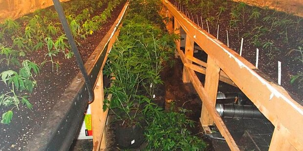 734 Cannabis-Pflanzen neben Polizei angebaut