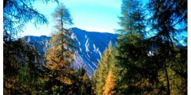 Ältester Baum der Alpen entdeckt