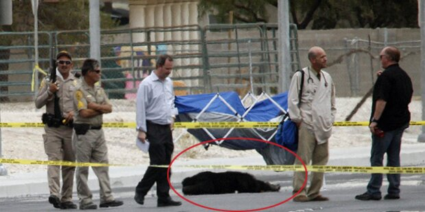 Sheriffs erschießen Schimpansen in Vegas