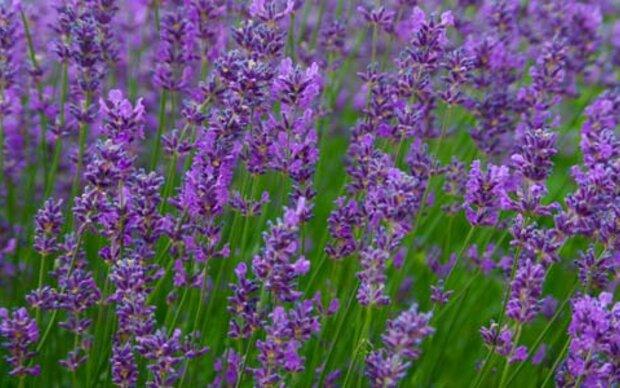 Lavendel belebt in der dunklen Jahreszeit