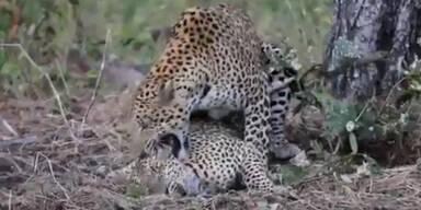 Paarung von Leoparden gefilmt