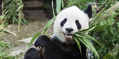 Ein neuer Panda für Wien