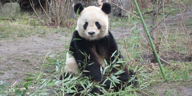 Schönbrunner Panda-Papa Long Hui hat Krebs