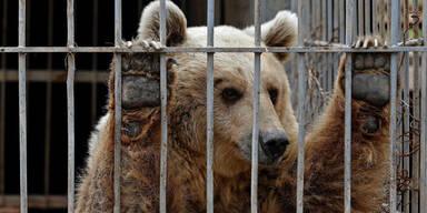 """Happy End für """"Simba"""" und """"Lula"""" aus Zoo in Mosul"""