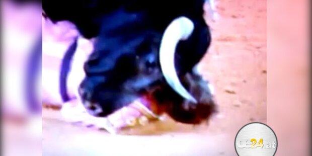 Stier rammt Torero Horn ins Gesicht