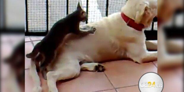 Katze verpasst Hund professionelle Massage