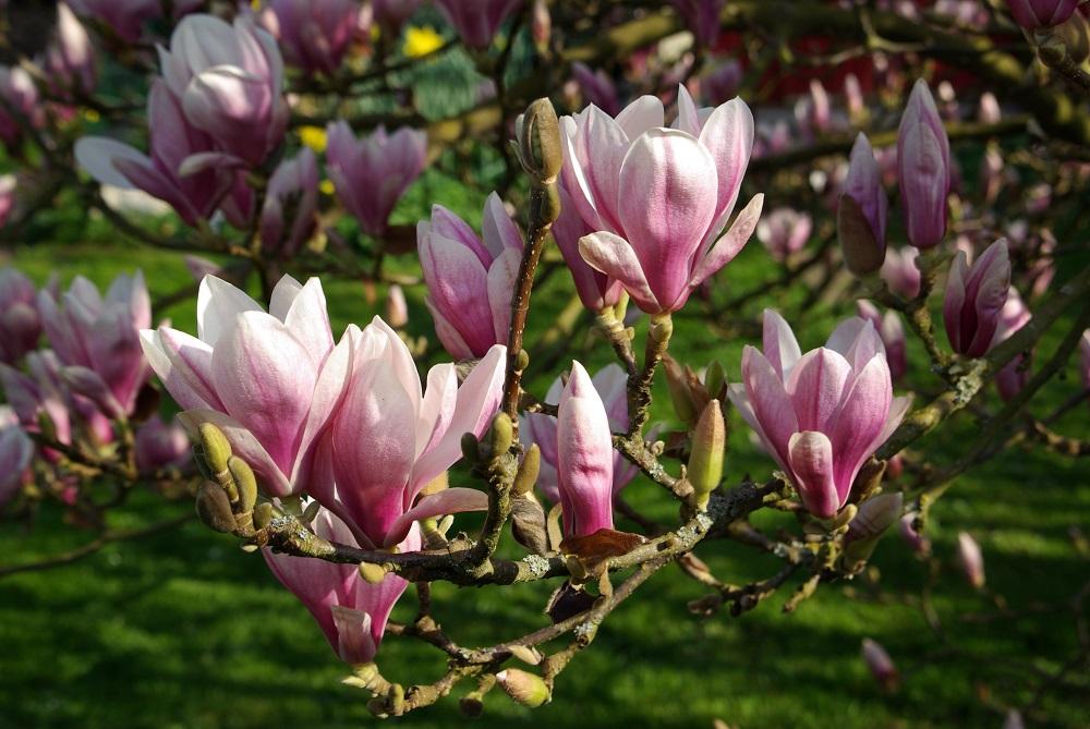 Magnolien - Garten-CH - Balkongarten