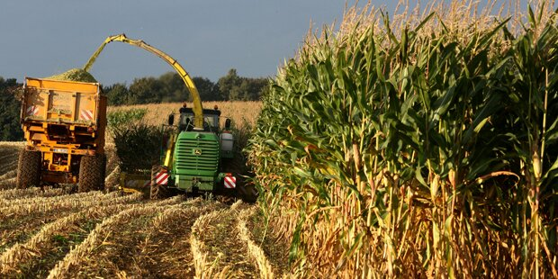 Metall-Fallen gegen Mais-Konkurrenz