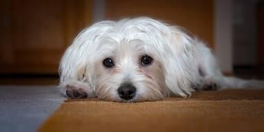 Malteser, Hund - Tierschutz-CH - Unsere Tiere - Tierquäler - Sendung 10032019
