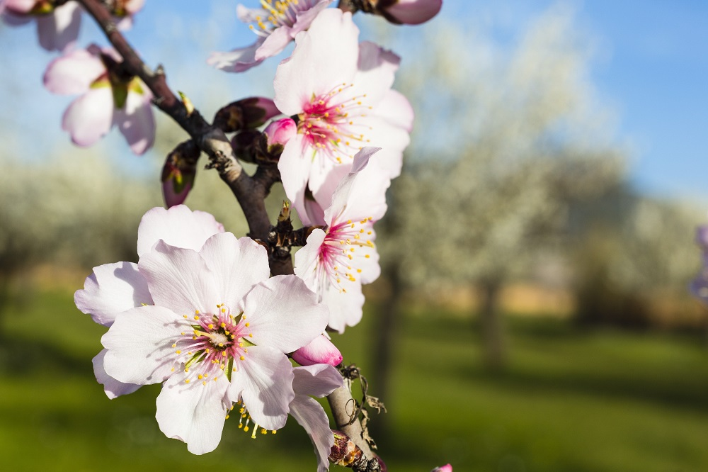 Mandelblüte - Garten-CH - NaturLust #15 - NaturGarten S. 22-27