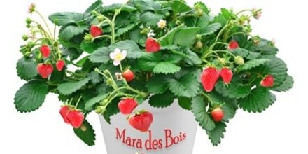 """Die Pflanze des Monats: """"Mara des Bois"""""""