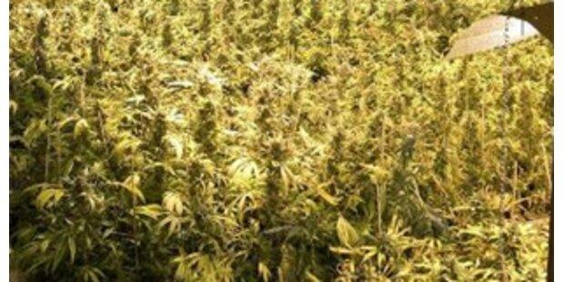 Christbaum führte Grazer Polizei zu Marihuana