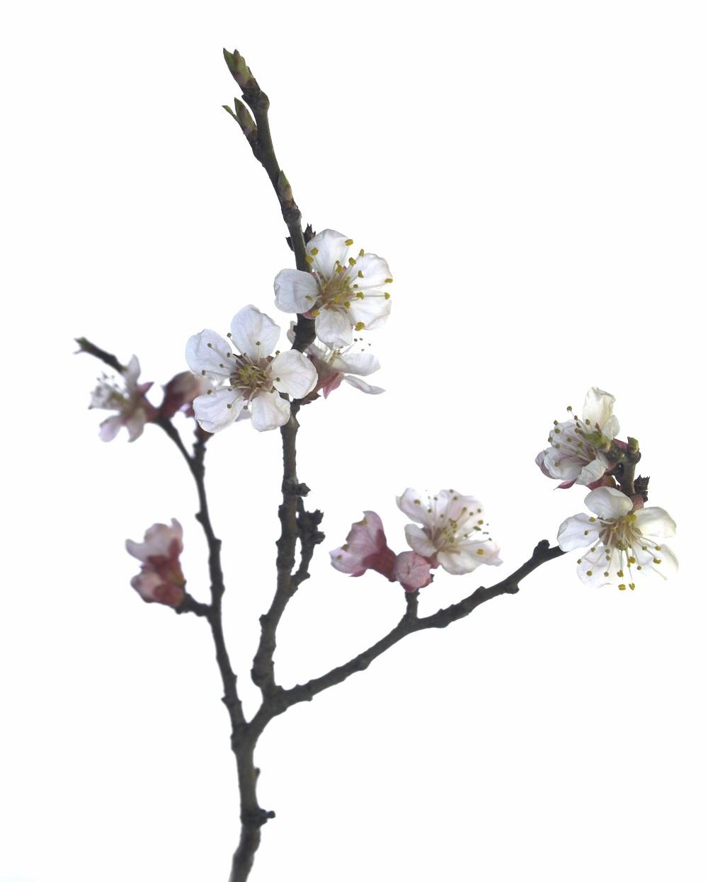 Marillenblüte - Garten-CH - NaturLust #15 - NaturGarten S. 22-27