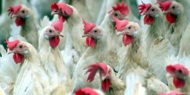 Mehr als 70 Prozent der Hühner haben den Erreger