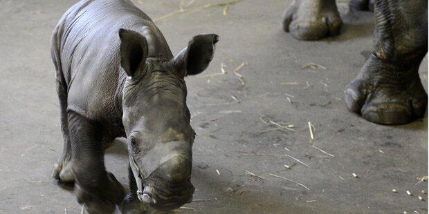 Nashorn-Baby zur Welt gekommen