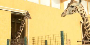 Giraffen werden in Kaserne übersiedelt